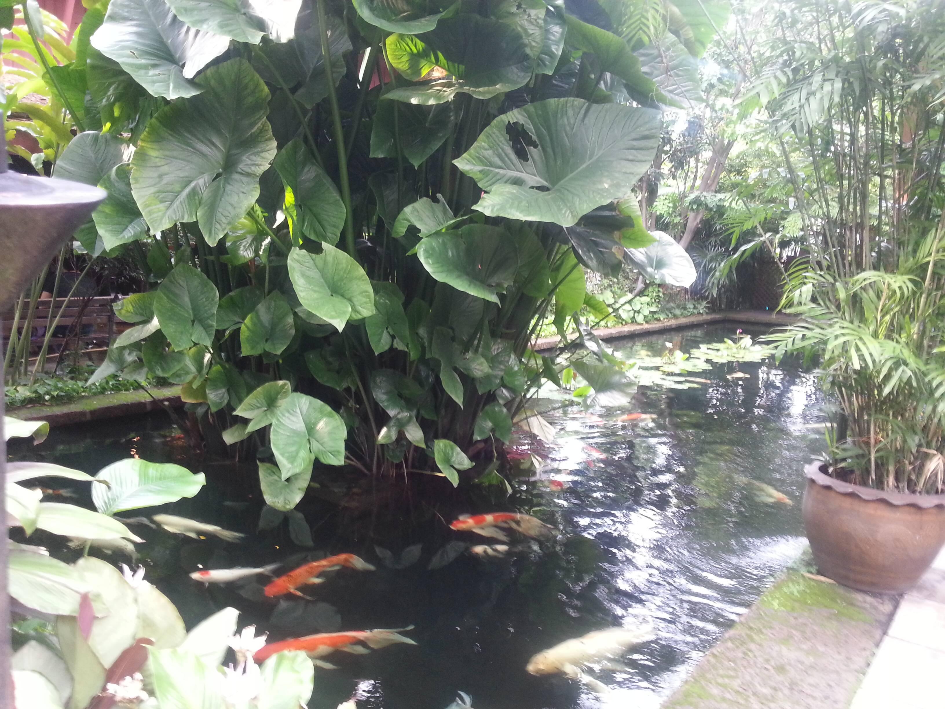 Lago de carpas na Jim Thompson House