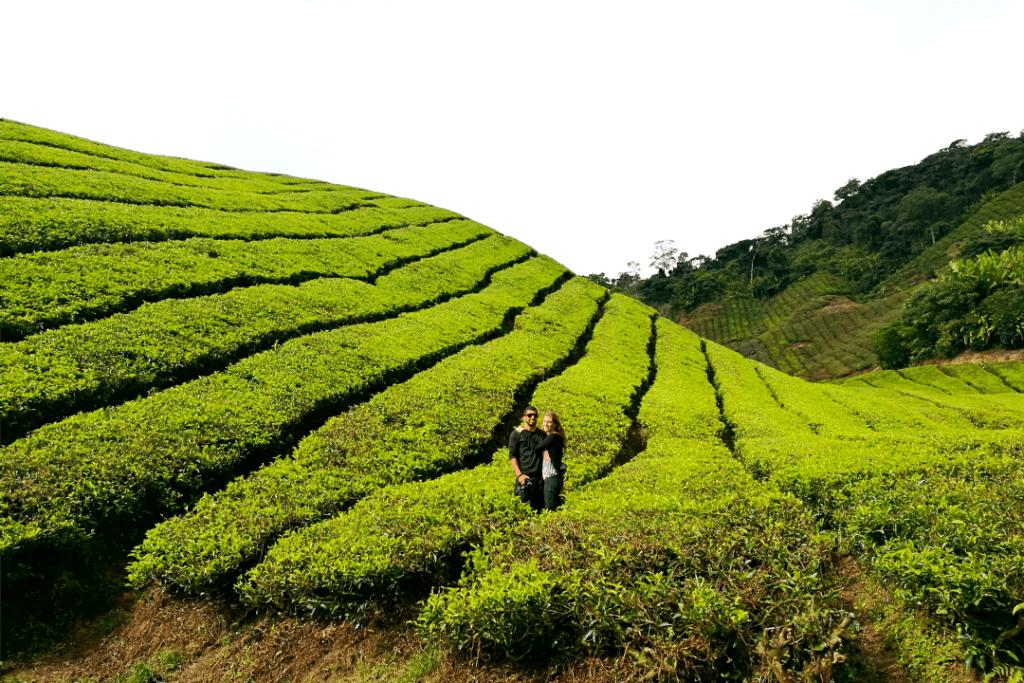 Plantação de chá em Cameron Highlands, Malásia - dez imagens