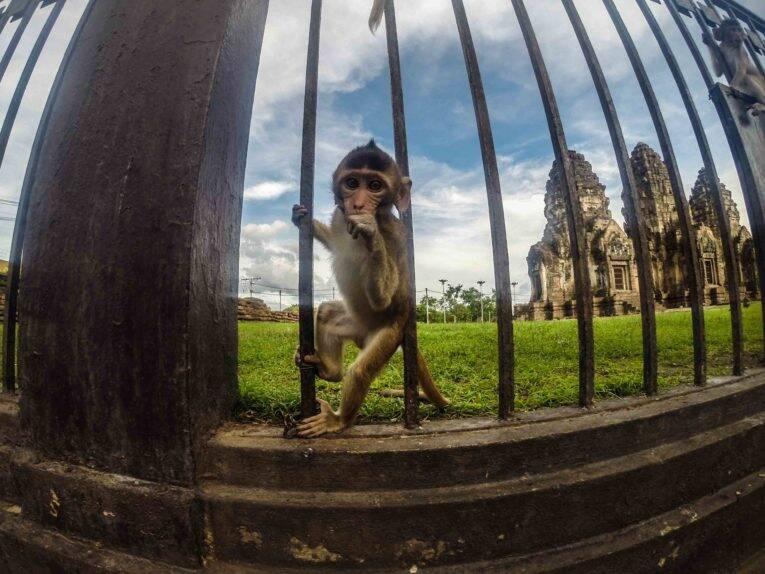 Macaco em Lopburi na Tailândia.