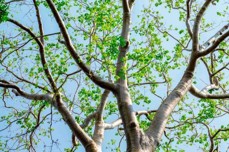 Árvores onde os morcegos voavam durante a luz dia.