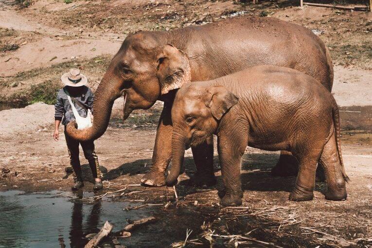 Elefantes em Chiang Mai, Tailândia. | Foto: Kym Ellis