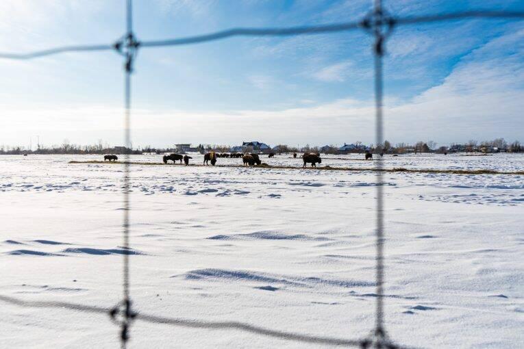 Bisões caminham numa área fechada do FortWhyte Alive em Winnipeg
