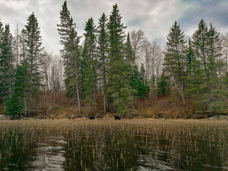 O pontinho preto no meio dessa natureza linda do Canadá. urso-negro
